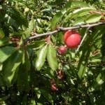 Florida Native Plants Tomorrow S Fruits And Vegetables Vsc News