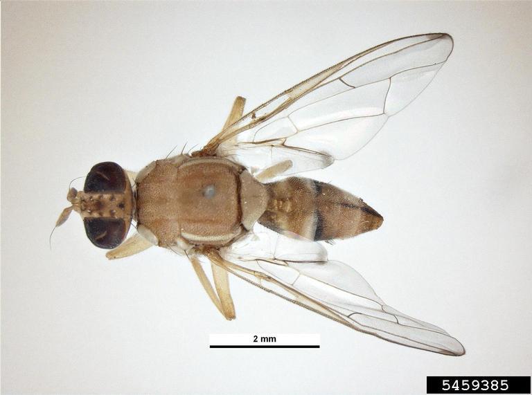peach fruit fly