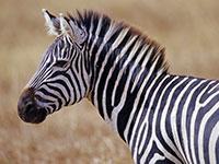 Раскраска зебра. Распечатать картинки для детей.