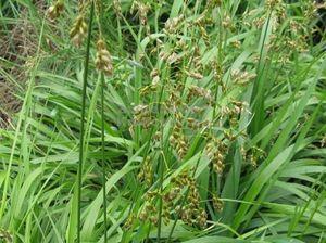 Трава зубровка полезные свойства Настойка из зубровки