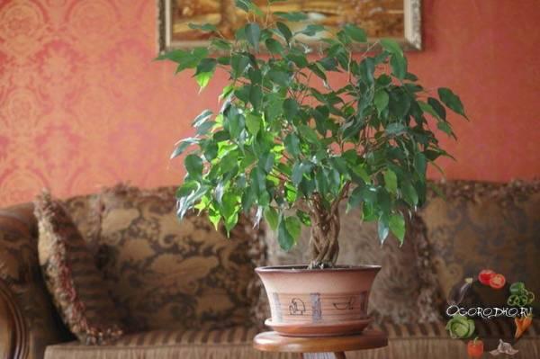 Фикус бенджамина дунетти — Все цветы