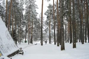 сосновый лес в Кукобое