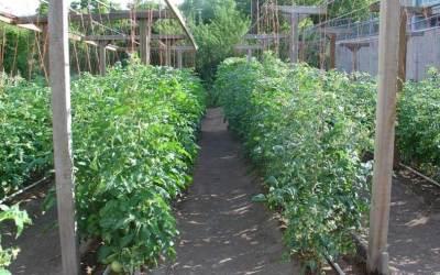 Как да засадим домати