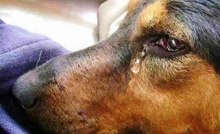 сълзи в кучешките