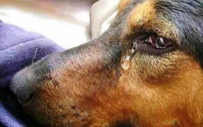 Сълзи в кучешките очи