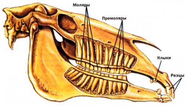Сколько зубов у лошади: особенности строения зубов жеребцов и кобыл. Сколько зубов у лошади и как они устроены Как выглядят здоровые зубы у лошади