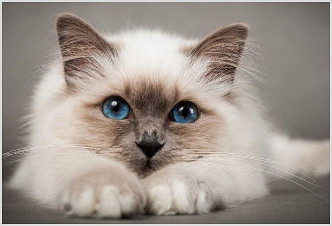 Опух подбородок у кошки причина воспаления Появилась шишка на подбородке у кошки