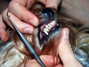 Правильный прикус у йоркширского терьера. Зубной налёт: причины появления и способы удаления. Как защитить коренные зубы йорка