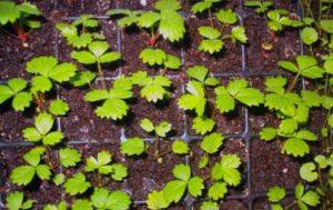 Как выращивать землянику
