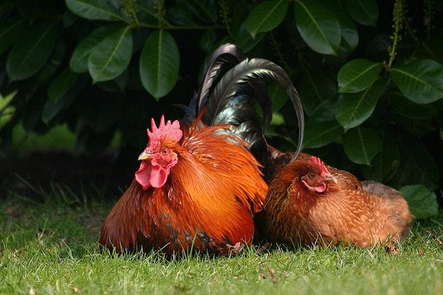 разведение кур в домашних условиях