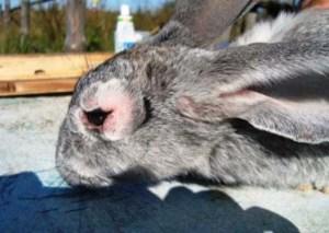 Миктоматоз у кролика