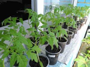 Dlja chego provoditsja pikirovka tomatov