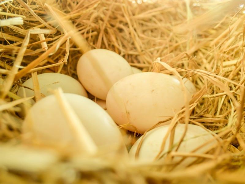 Инкубация гусиных яиц в домашних условиях
