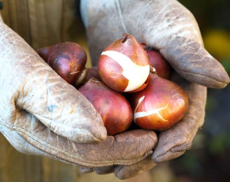 Как посадить тюльпаны осенью на даче