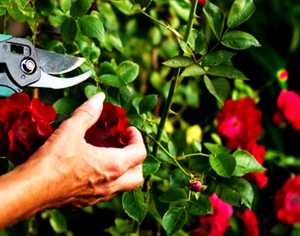 Обрезка роз осенью