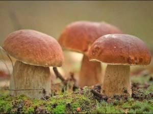 Подготовка участка для выращивания белых грибов