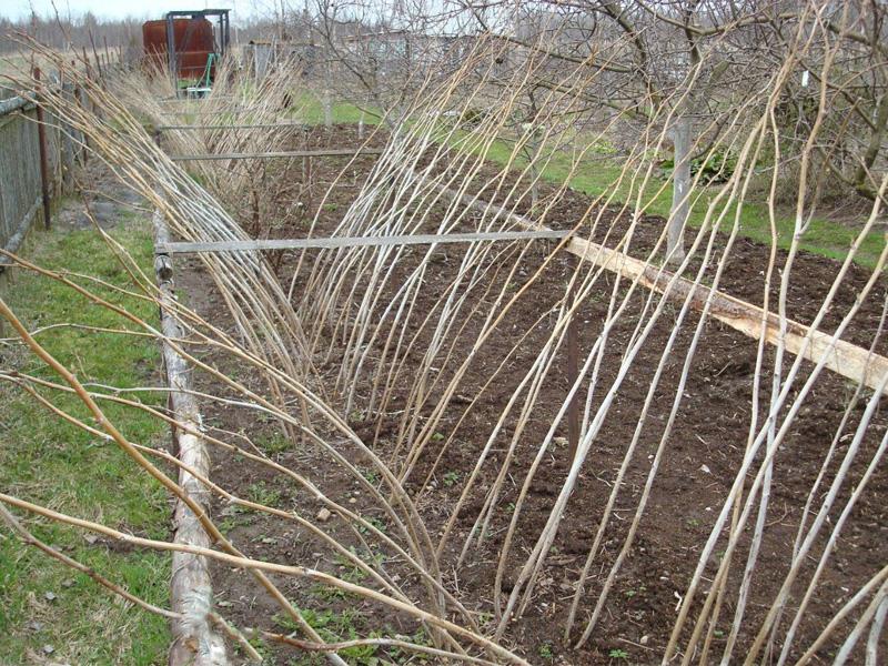 Посадка малины весной и подготовка места