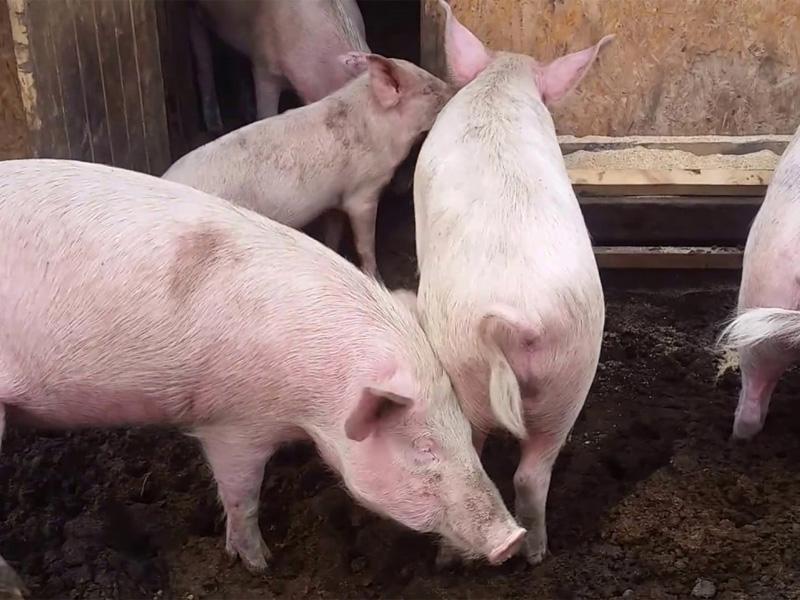 Крупная белая порода свиней разновидности латвийская
