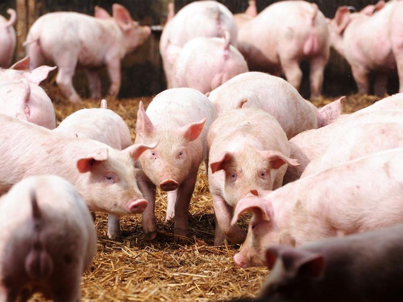 Крупная белая порода свиней и особенности разведения