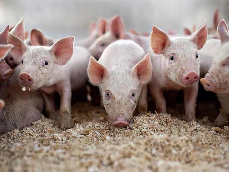 Сальные породы свиней и основы ухода за поросятами