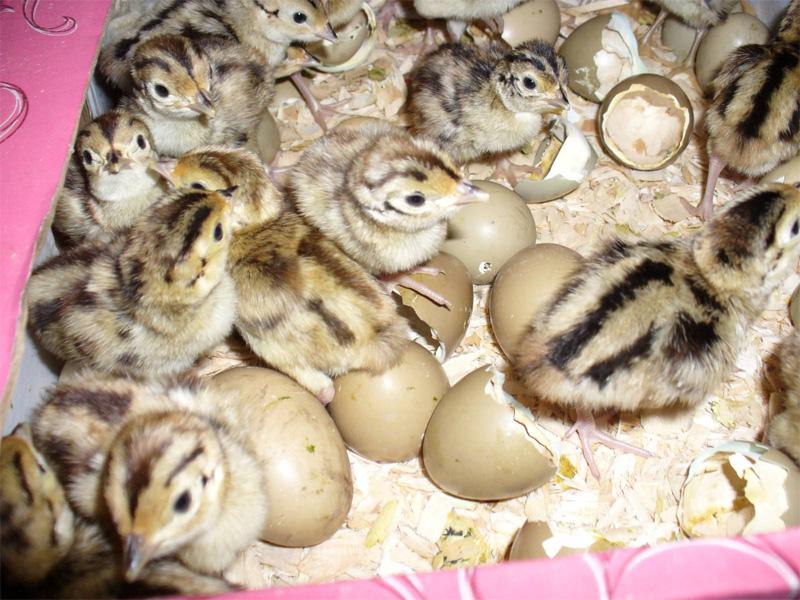 Фазан. Инкубация яиц - пошаговое руководство от а до я