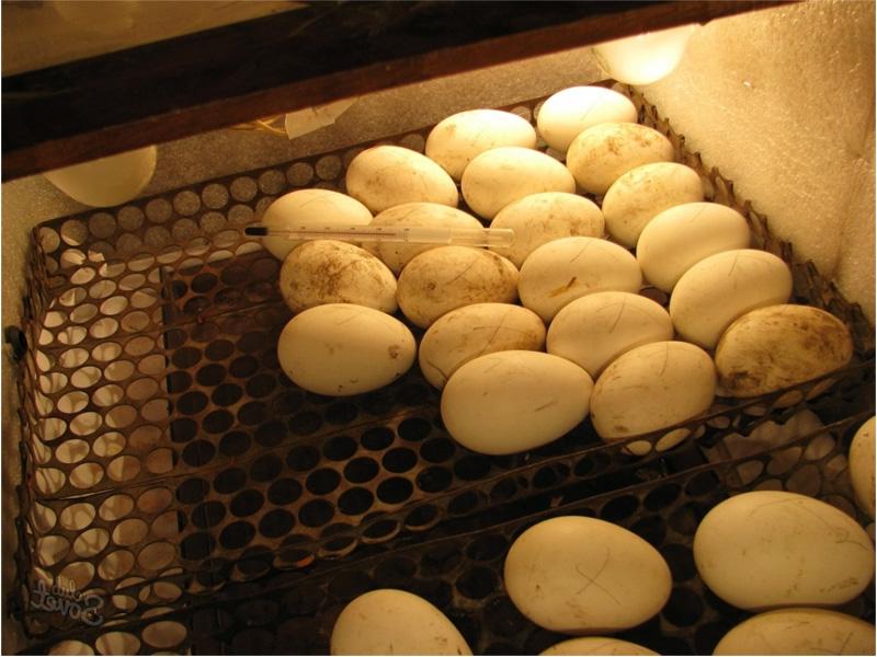 Инкубация индюшиных яиц и устройство инкубатора