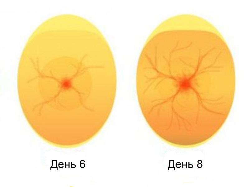 Овоскопирование утиных яиц и эмбрион на 6-8 день инкубации
