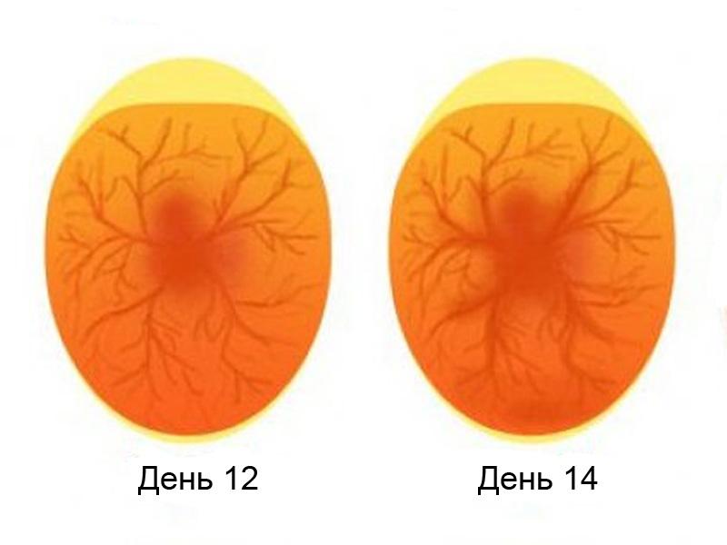 Овоскопирование утиных яиц на 12-14 день формирования эмбриона