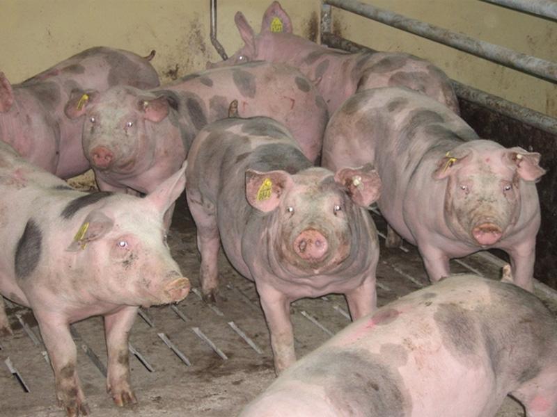 Порода свиней Пьетрен и как выбрать поросенка