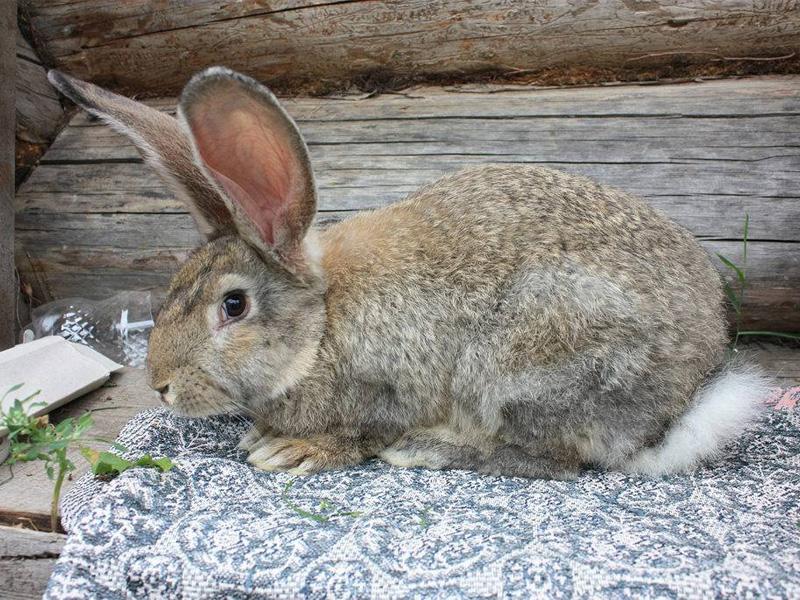 Породы кроликов мясного типа