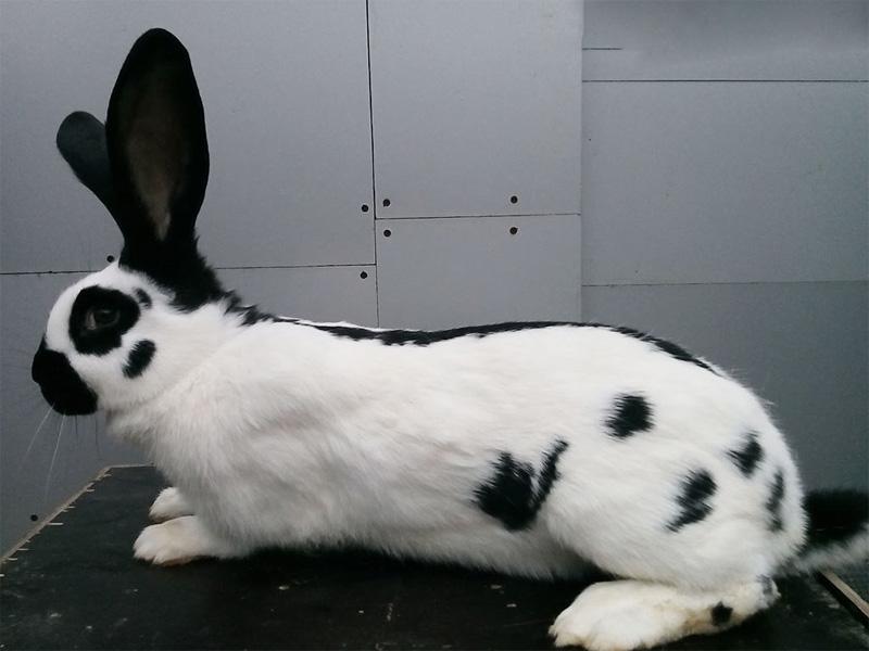 Породы кроликов типа строкач