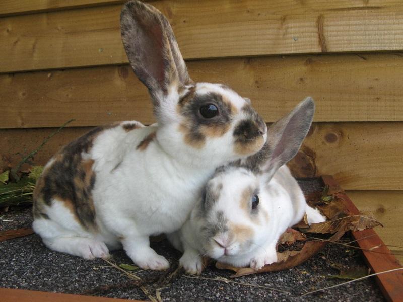 Какие прививки нужно делать декоративному кролику