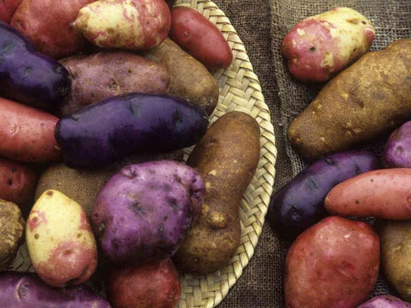 Популярные ранние сорта картофеля