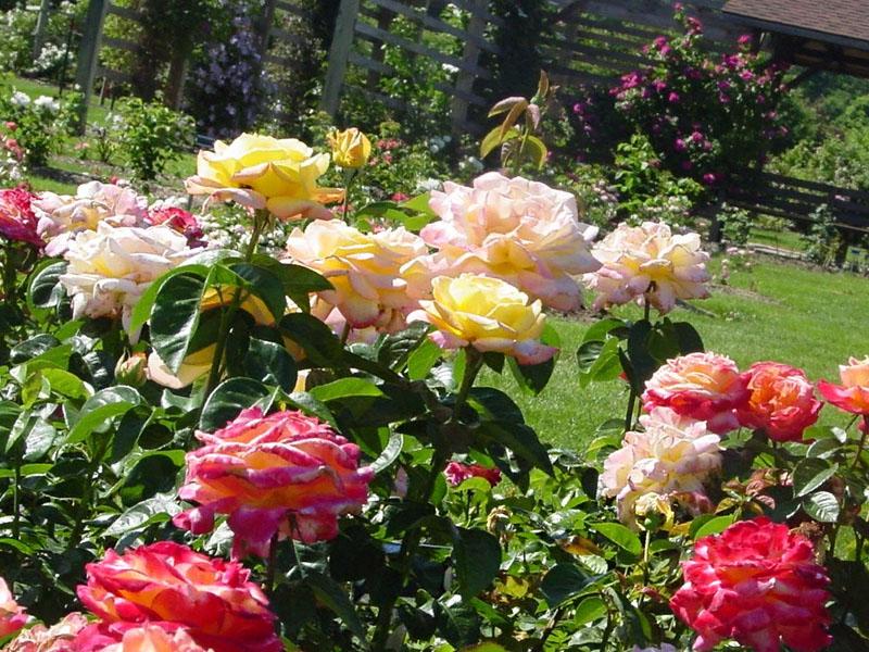 Чем подкормить розы в июне для пышного цветения