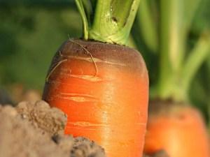 Чем удобрять морковь в июне