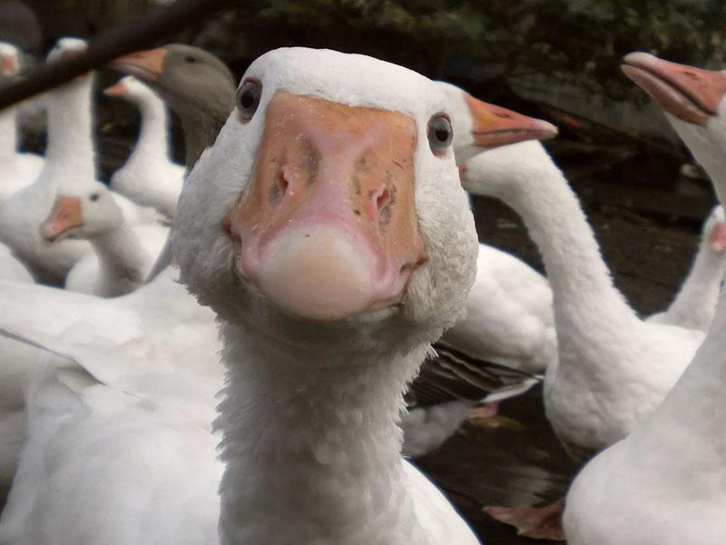 Разведение гусей в домашних условиях для начинающих: подробно