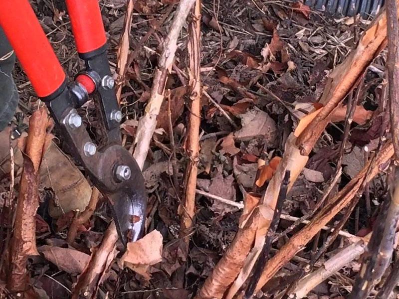 Когда осенью обрезать пионы