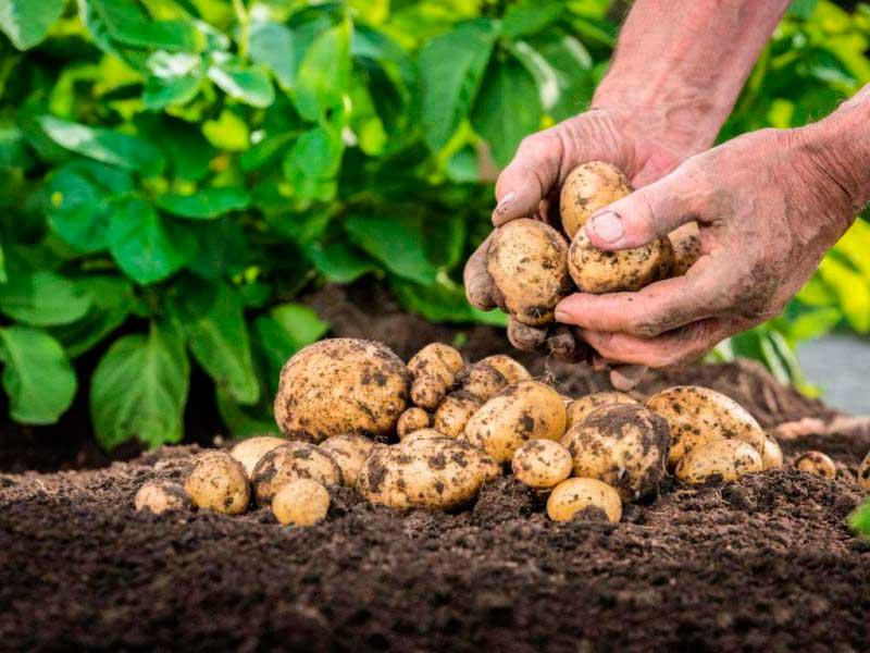 Что можно сажать после картофеля