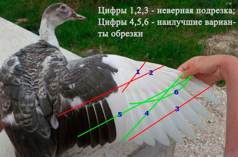 способы обрезки крыльев утки