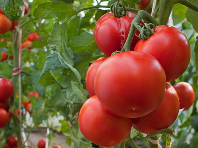 Пасынкования помидор в открытом грунте