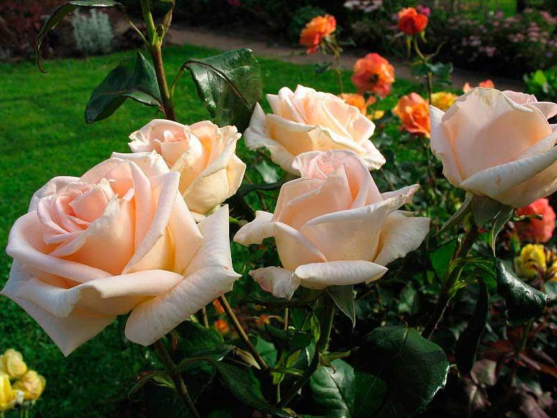 сорта чайно-гибридных роз