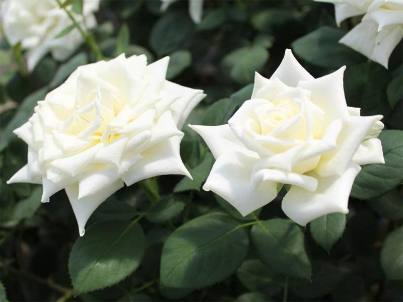 Роза чайно-гибридная: сорта и описание розы Полярштерн