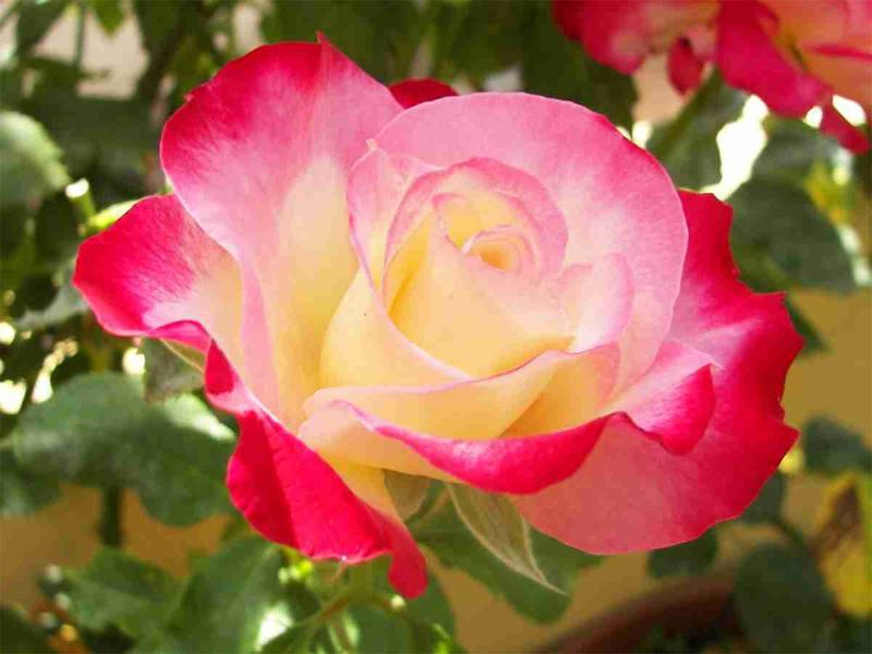 Роза чайно-гибридная: сорта и описание розы Боб хоуп