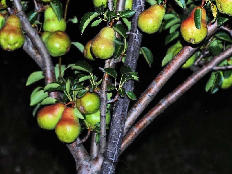 груша Талгарская красавица опоры под ветки