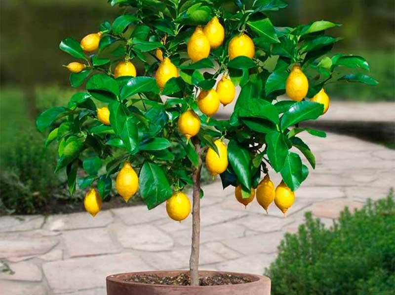 Комнатный лимон выращивание