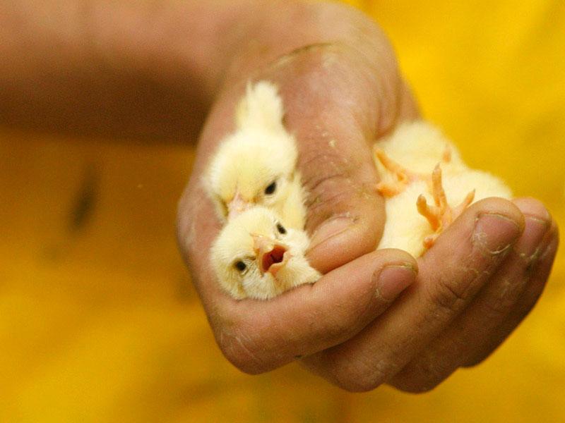 определить пол цыпленка