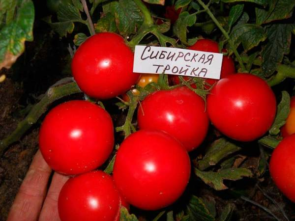 Сорт томатов - Сибирская тройка • описание, характеристика ...