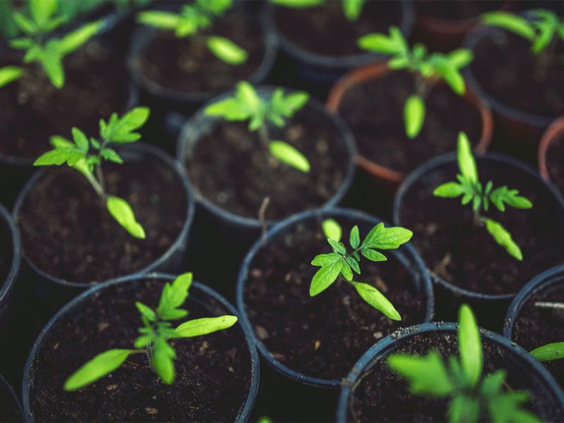 Томат сорта - Настенька и правильный уход за рассадой
