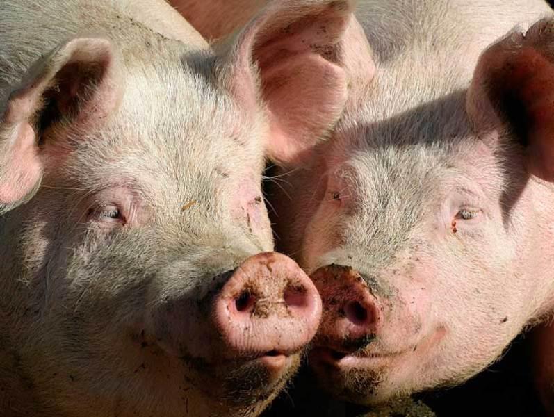 случка свиней
