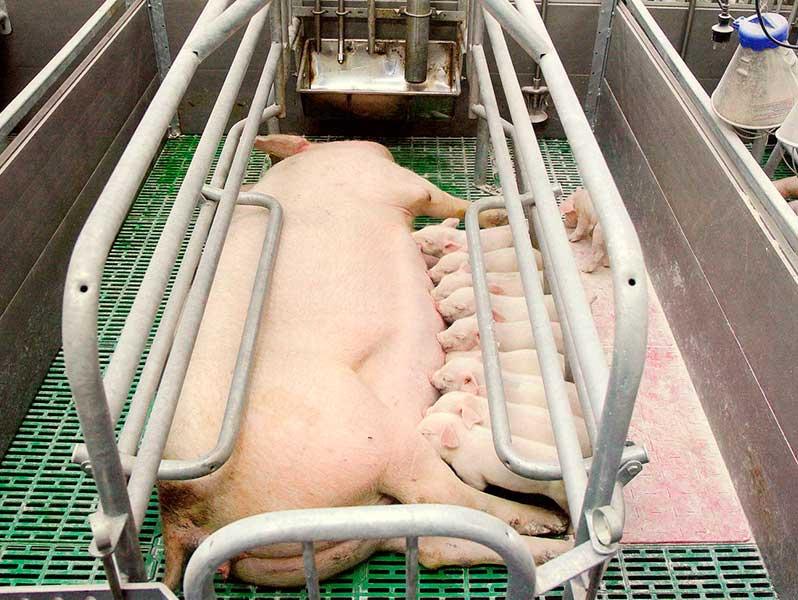 Содержание супоросных свиноматок